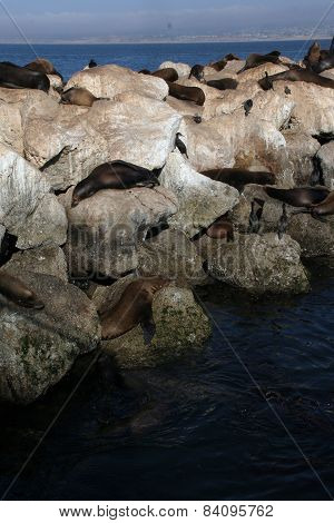 Sea Lions Sleeping On The Rocks