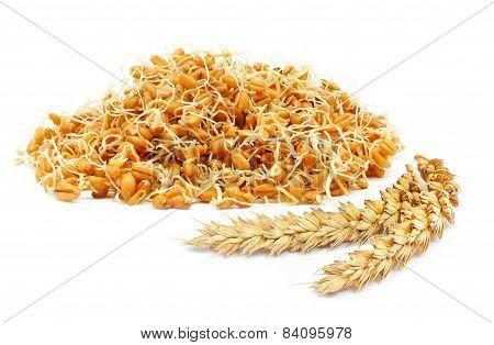 germ of cereals