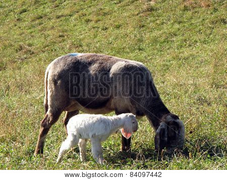 Young Lamb With Sheep Graze In The Meadow