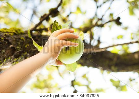 Picking Green Apple From A Tree In Summer