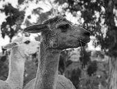 image of alpaca  - Alpaca on an Australian farm eating some grass in black and white - JPG
