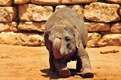 picture of biblical  - Asian Elephant in Jerusalem Biblical Zoo Jerusalem Israel - JPG