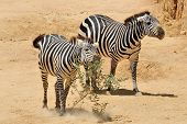 picture of biblical  - Zebra in Jerusalem Biblical Zoo Jerusalem Israel - JPG