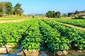 foto of potato-field  - Potato field on blue sky landscape in Thailand - JPG