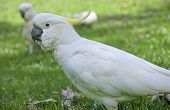 stock photo of cockatoos  - Large white cockatoo parrot from the forests of Australia