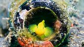 pic of discard  - A Golden Goby hides inside a discarded glass bottle on a black sandy seabed  - JPG