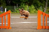 picture of competition  - Spanish Water Dog jumping over the hurdle in agility competition an exiting dog sports event - JPG