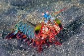 picture of biodiversity  - Vividly colored Peacock Mantis Shrimp on a black sandy seabed - JPG