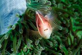 pic of skunk  - Skunk Clownfish in a green anemone in tropical waters - JPG
