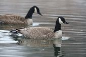 stock photo of snow goose  - Pair of Canada Geese  - JPG