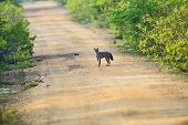 pic of jackal  - Jackal in the jungles of Sri Lanka - JPG