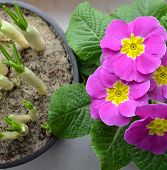 picture of primrose  - green growing crocuses and bright pink primrose - JPG