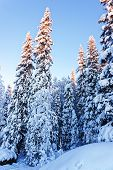 image of laplander  - Spruce trees under snow in winter Lapland - JPG