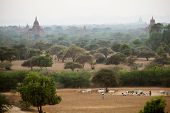 stock photo of mustering  - Burmese herder leads cattle herd through sunset landscape with ancient Buddhist pagodas at Bagan - JPG