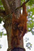 picture of orangutan  - Orangutans in the jungle of Borneo - JPG