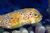image of saltwater fish  - Normal Shape Porcupine fish hovering over hard corals - JPG