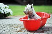 stock photo of bathing  - wet dog in baby bathtub - JPG