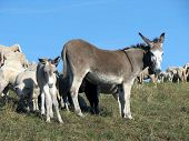 foto of counting sheep  - baby donkey and his mother donkey grazing in the mountains - JPG