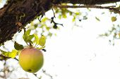 image of garden eden  - Green apple hanging low on the tree make a tempting treat - JPG