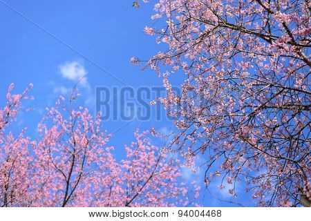 Pink Cherry Blossom Branches On Clear Blue Sky Background.