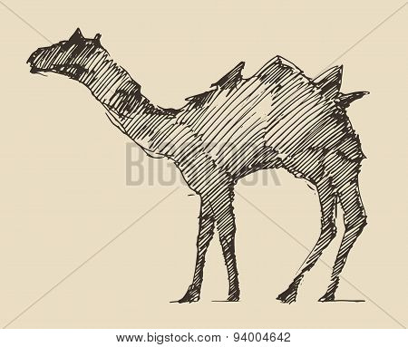 Camel Engraved Illustration Hand Drawn Sketch