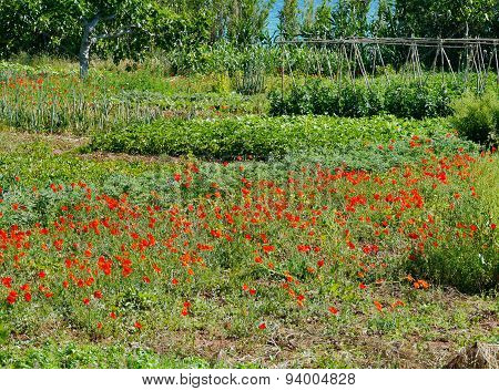 A garden with vegetables and papavers