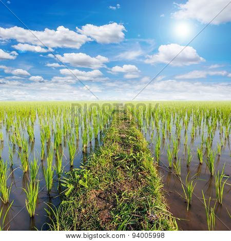 Field Paddy Rice And Sun With White Clouds Blue Sky