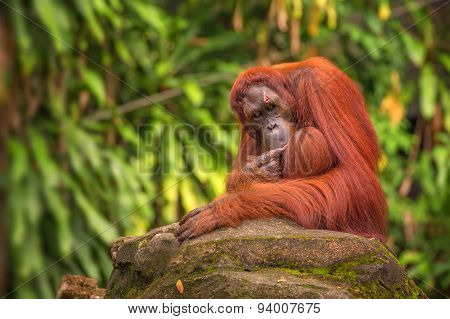 Orangutan in the Singapore Zoo