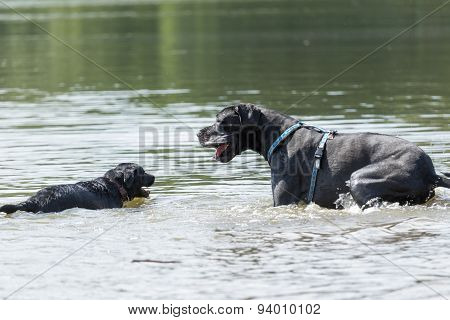 Black Dogs Are Playing In The Water