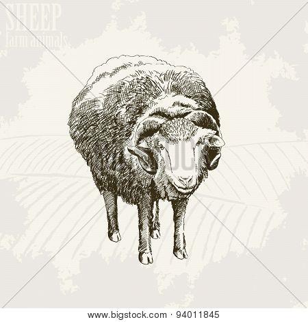 Sheep breeding