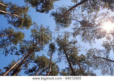 Pine Forest In Sunlight.