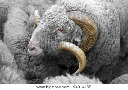 The Portrait Of A Ram Among The Flocks Of Sheep