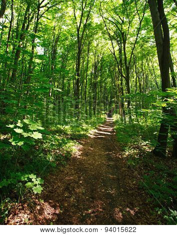 Trail In A Green Forest In Sunlight