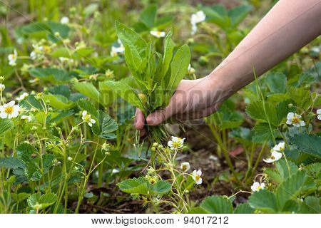 Weeding Of Blooming Strawberries