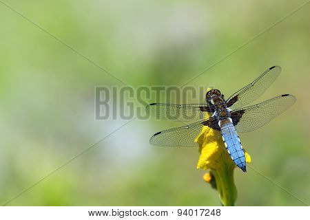 Blue Dragonfly, Libellula Depressa, Sitting On A Yellow Flower