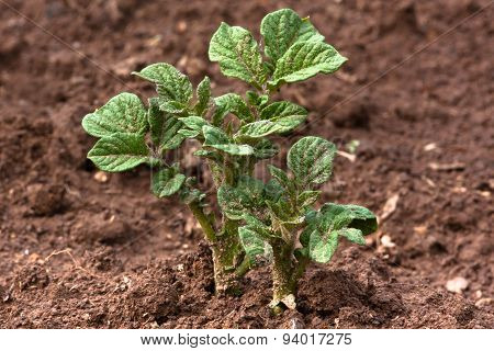 Young Potato Plant Growing In A Field