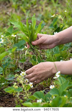 Hands Weeding Of Blooming Strawberries