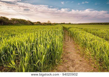 Growing Wheat Crop