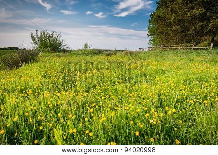 Meadow Of Buttercups