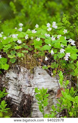 Wood sorrel growing on birch tree stump