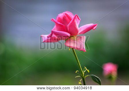 Nice red rose macro photo