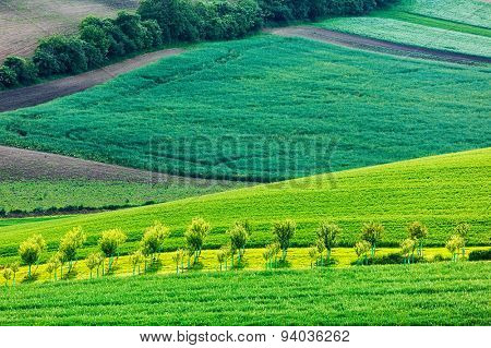 Apple trees in rolling fields of South Moravia, Czech Republic