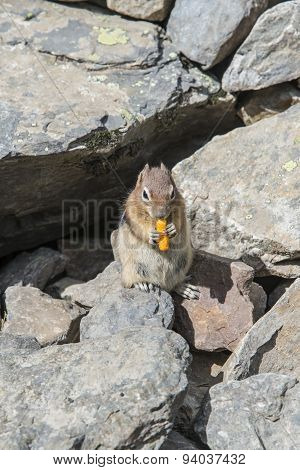 Squirrel eating chitose