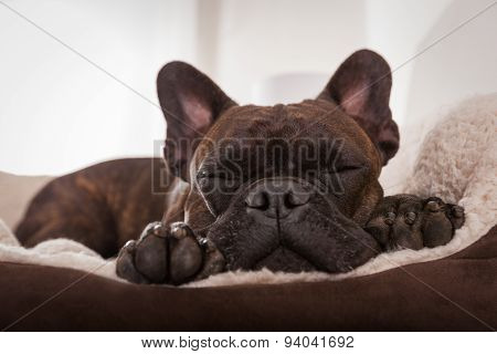 Dog Siesta Sleep