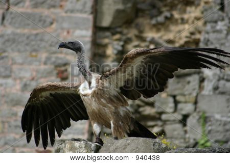 Vulture Spreading Wings