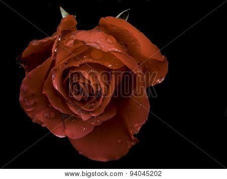 Rose with natural dew drops