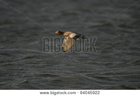 Wigeon flying