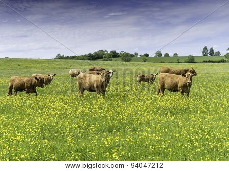 Beef Cows And Calves In A Field Of Buttercups