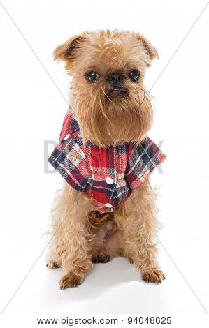 Brussels Griffon In Flannel Shirt