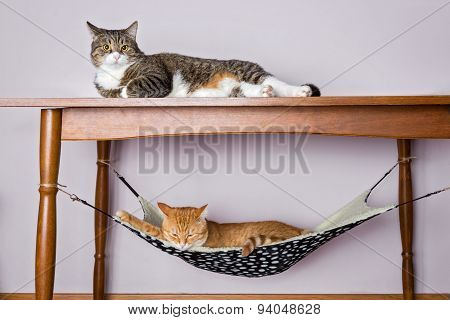 Two Domestic Cat Sleeping